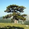 Parco del Pollino, censiti 138 alberi monumentali