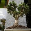 Ad Albidona un bonsai è contro l'aids