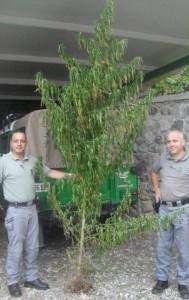 cannabis s.agata