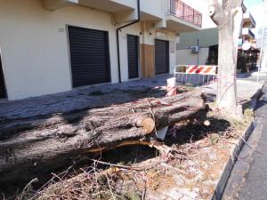 Albero sradicato in Viale S. Angelo a Rossano (foto di Antonio le Fosse)
