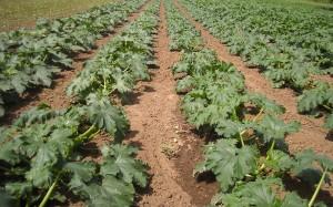 Coltura di zucchine