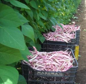 Produzione di fagiolo borlotto ceroso rampicante pronto      per il mercato