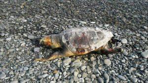 tartaruga trebisacce 2